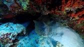giraffe : Moray Eel under coral reef in the nigth. Honeycomb Moray, Gymnothorax favagineus, Indian Ocean, Maldives