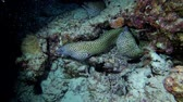 kozmopolita : Three Moray Eels on the coral reef in the nigth. Honeycomb Moray, Gymnothorax favagineus, Indian Ocean, Maldives