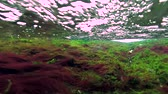 atlantický : Red and green alga in a turbulent, oncoming flow to water to shallow. Underwater view, 4K, 60fps
