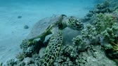 eats : Sea Turtle sits on a coral reef and eats soft coral. Hawksbill Sea Turtle or Bissa (Eretmochelys imbricata) Underwater shot, Top view, Closeup. Red Sea, Abu Dabab, Marsa Alam, Egypt, Africa