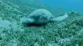 zeewier : Frontal portrait of the Great Sea Turtle sleeping on green grass Green Sea Turtle (Chelonia mydas) Underwater shot, Closeup. Red Sea, Abu Dabab, Marsa Alam, Egypt