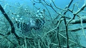 merluzzo : Red Lionfish fish in the branches of mangroves. Underwater shot, Closeup. Red Sea, Marsa Alam, Egypt, Africa Filmati Stock
