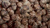 white lipped : Many food snails. Background of live snails. Camera moves upwards? 4K  60fps