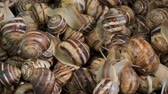 white lipped : Sideways movement - A group of food snails. Background of live snails. Camera slowly moves sideway to the right side. Top view? 4K  30fps
