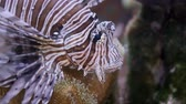 merluzzo : Portrait of Red Lionfish (Pterois volitans). 4K  50fps, underwater shots
