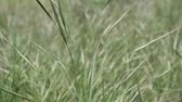 Close-up of Barren brome, Natural background, Full HD - 60fps
