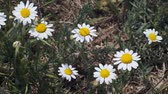 Daisies, Natural background, Full HD - 60fps