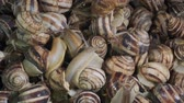 white lipped : Many food snails. Background of live wet snails. Close-up, Top view? 4K  60fps