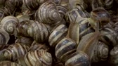 Бургундия : Camera rotation 360 degrees - Many food snails. Background of live wet snails. Super macro, Top view? 4K  60fps