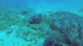 algas : Two sea turtles feeds on the seabed covered with green sea grass. Green Sea Turtle - Chelonia mydas, Underwater shots, 4K - 60 fps