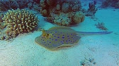 жало : Stingray lies on a sandy bottom under the coral. Blue-spotted Stingray - Taeniura lymma, Underwater shots, 4K - 60 fps