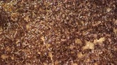 stacking : War in the colony of European fire ant. Super macro 2: 1, 4K  60fps Stock Footage