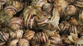 shell : Sideways movement - Many food snails. Background of live snails. Camera moves sideway to the left side. Top view? 4K  30fps