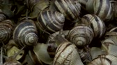 banded : Camera rotation 360 degrees - A group of food snails. Background of live snails. Super macro, Top view? 4K  60fps Stock Footage