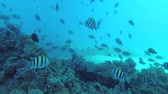banded : Slow motion - swim over coral reef in the blue water. Indo-Pacific sergeant - Abudefduf vaigiensis, Underwater shots Stock Footage