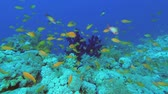 массивный : Anthias fish smims over orange coral reef on the blue water background. Lyretail Anthias or Sea Goldie - Pseudanthias squamipinnis, Underwater shots