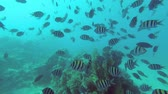 banded : Large school of fish swim over coral reef in the blue water. Indo-Pacific sergeant - Abudefduf vaigiensis, Underwater shots Stock Footage