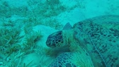 chelonia : Two sea turtles lie on the sandy bottom and green seagrass. Green Sea Turtle - Chelonia mydas, Underwater shots