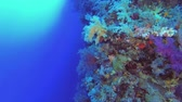 brokolice : Coral on blue water background - Underwater shots Dostupné videozáznamy