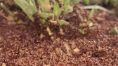 War in the colony of European fire ant. Macro 1: 1, 4K  60fps