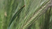 Closeup of Wall barley, Natural background, Full HD - 60fps