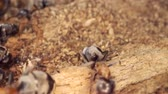A colony of red wood ant on a rotten stump. Super macro? 60fps