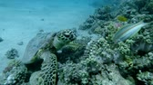 Slow motion, Sea Turtle sits on a coral reef and chews soft coral. Hawksbill Sea Turtle or Bissa (Eretmochelys imbricata) Underwater shot, Closeup. Red Sea, Abu Dabab, Marsa Alam, Egypt, Africa