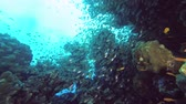 school of Glass fish swims near coral reef - Underwater shots Wideo