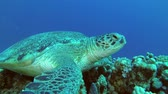 tortue verte : Close up of Sea Turtle resting on coral. Green Sea Turtle - Chelonia mydas, Underwater shots Vidéos Libres De Droits
