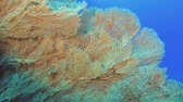 fadas : Slow motion - large Sea fan soft coral. Soft coral Giant Gorgonian or Sea fan - Subergorgia mollis
