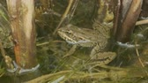 sapo : Close up of Frog In the water. Green frog sitting in a swamp Vídeos