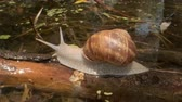 burgundy : snail crawling over a lake background. Grape snail in the natural habitat. Close-up Stock Footage