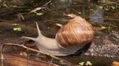 burgundy : Snail crawling on a lake background. Grape snail in the natural habitat. Close-up