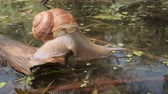 temple : Snail eagerly drinks underwater. Grape snail in the natural habitat. Close-up