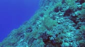 ribambelle : Slow motion - beautiful soft coral fish Underwater shots