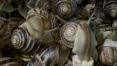 birkaç : A group of food snails. Background of live wet snails. Extreme close up, macro 1: 1. Top view? 4K  60fps