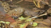dobbelsteen : Head of a water snake looks out of the water. Close-up Stockvideo