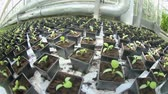 vegetarianismo : Seedlings of peppers in the greenhouse.
