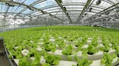 vegetarianismo : Lettuce in the greenhouse.Vegetable production on an industrial scale. Stock Footage