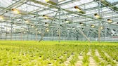 vegetarianism : Lettuce in the greenhouse.Vegetable production on an industrial scale. Stock Footage