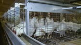 farming equipment : cells with white chickens at the poultry farm.