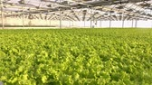 優しい : Growing vegetables in a greenhouse. Plantations of green salad.