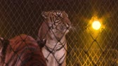 agressão : Tigers in a cage.Circus.
