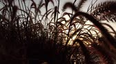raio de sol : The suns rays shining through the dry reed grass.