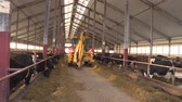 feeder : cows and calves on the animal farm.