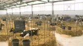 campo : Calves on a livestock farm. Young calves in individual cells are quarantined. Under sterile conditions.