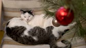 hora de dormir : two cats sleeping in an embrace christmas 4k
