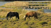 pony : two horses are grazing in icelandic meadows near river in sunny day, bird is sitting on a back