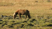 лошадиный : red icelandic horse with bright mane is grazing on a meadow in sunny day and walking out from frame