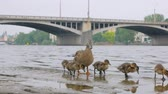 potomstvo : funny ducklings and adult duck are walking on stone embankment in city in summer day